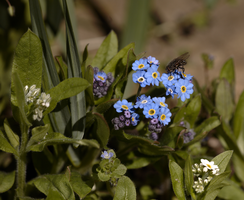 Forget-me-not 3 by bmh1