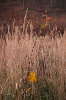 Pampa grass and yellow leaves by yuushi01
