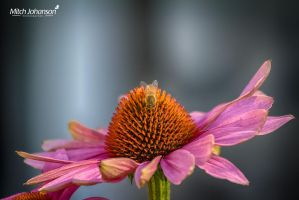 Bee on a Pink Flower HDR by mjohanson