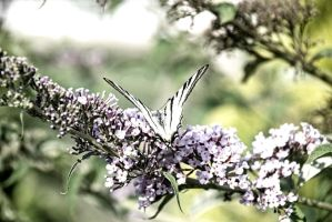 ..butterfly.. by Buyju
