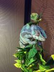 Christmas chameleon by IsabellaGraceS