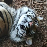 Gage Park Zoo 67 - Tiger by Falln-Stock