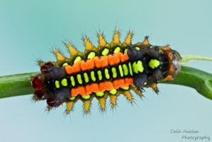 Slug caterpillar by ColinHuttonPhoto