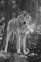 Timber Wolf in Grayscale by MichaelsPhotography