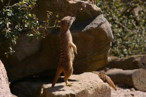 Meerkats II by expression-stock
