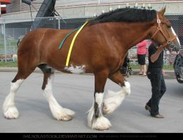 Clydesdale 10 by SalsolaStock