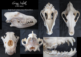 Skull Stock: Grey Wolf by Krissyfawx