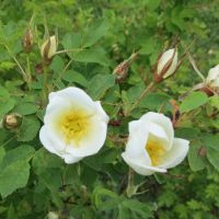 Rosa spinosissima 'Nils' 2 by Kattvinge