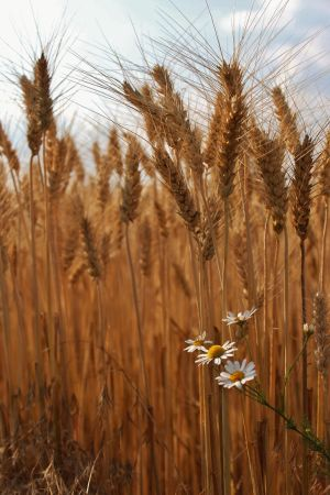 Wheat Stock by AfarStock