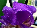 Rain on an Iris Bloom by TheGerm84