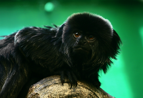 Monkey by FSGPhotography