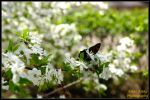 Cherry plum and butterfly by Ingrem48