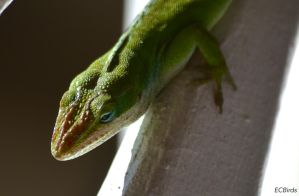 Green Anole by clairestclara