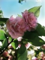 Pink Blossoms by N8grafica