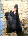 Arizona 2011 - Black Swan A by DarlingMionette