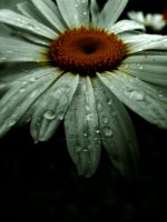 Rainy Day Daisy by RoughImages