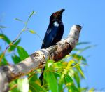 Spangled Drongo by Mike-Kossi