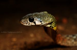 Red - Necked Keelback #3 by septle2
