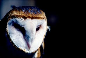 Barn Owl by Art-Photo