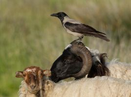 Feeling Sheepish - Hooded ~Crow by Jamie-MacArthur