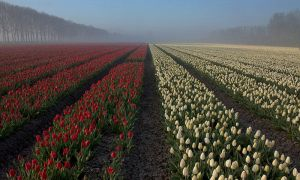 A tulip field by wienwal