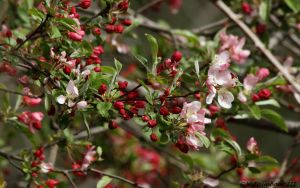 Apple Blossums by natureguy