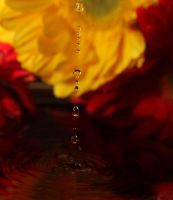 Yellow Red Gerberas + Water by TheDayILiveFor