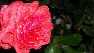 .Glazed Rose 5. by BabyLinux