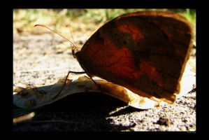 Butterfly and dead leaf by mercyop