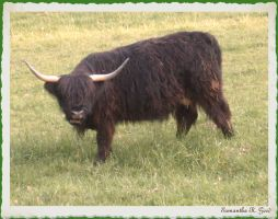 Mr Yankee's Highland Cow by faery-dustgirl