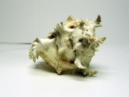Conch Shell Stock8 by D-is-for-Duck