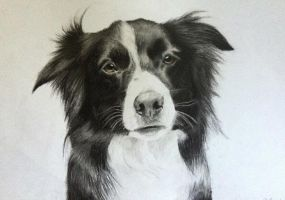 Border Collie by AnaMarijaVarazdinac