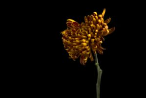 Yellow And Red Chrysanthemum [Volume One] by AndersStangl