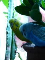 Budgies attacking plant part 1 by beriquito
