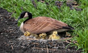Mother_Goose by SharonLeggDigitalArt