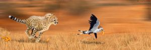 Cheetah and Secretary Bird: The Great Cheeto Chase by Psithyrus