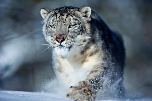 Snow Leopard 10 by catman-suha