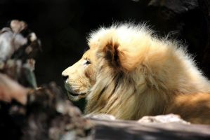 Stock: Lion side portrait by Celem