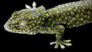 Yellow and Black Tokay Gecko by Toxic-Muffins-Studio