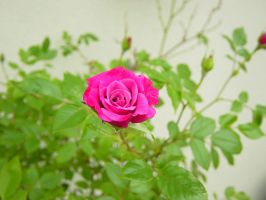 Pink Rose 2 by Blinded-Stock
