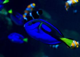 Blue Tang 02 by superchickenn123