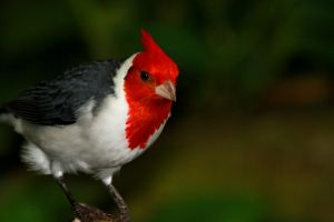 Cardinal Red by Tinap