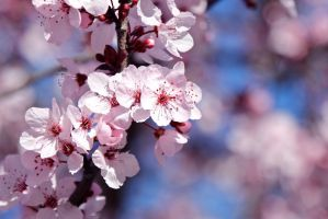 Cherry Blossoms by KARCEN
