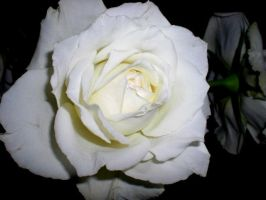 white roses. by minaohdate24