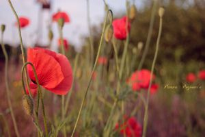 Poppies meadow II. by panna-poziomka