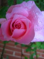 Pink Rose Stock 11 by addictedxstock