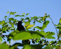 Grackle Rage by cheep