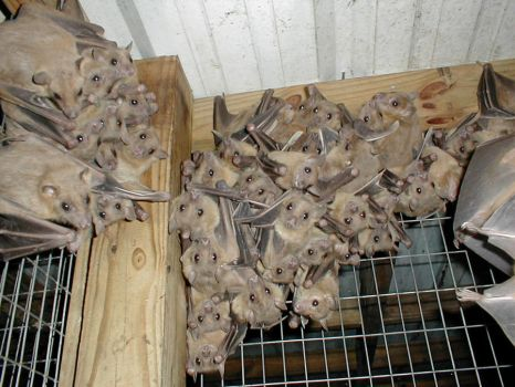 European Fruit bats by Mischieft