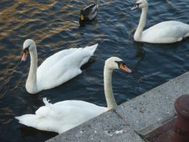 Swans by Schattenkind-Moony