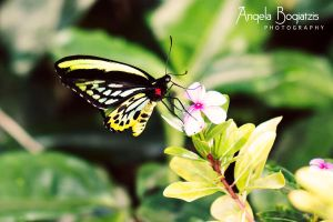 Cairns Birdwing Morning Time by anzella88